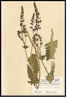 Salvia pratensis L.