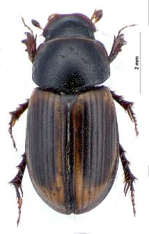 Aphodius circumcinctus W.L.E. Schmidt, 1840