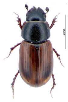 Aphodius fasciatus (G.-A. Olivier, 1789)