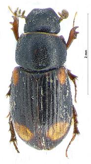 Aphodius quadrimaculatus (Linnaeus, 1761)