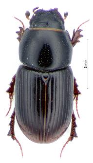 Aphodius granarius (Linnaeus, 1767)
