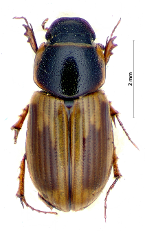 Aphodius sphacelatus (Panzer, 1798)