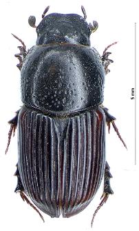 Aphodius subterraneus (Linnaeus, 1758)
