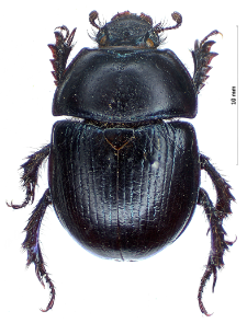 Anoplotrupes stercorosus (Scriba, 1791)