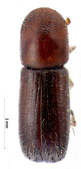 Xyleborus monographus (Fabricius, 1792)