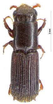 Platypus cylindrus (Fabricius, 1792)