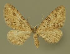 Eupithecia pusillata (Denis & Schiffermüller, 1775)