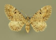 Eupithecia pimpinellata (Hübner, 1813)