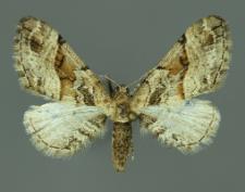 Eupithecia sinuosaria (Eversmann, 1848)