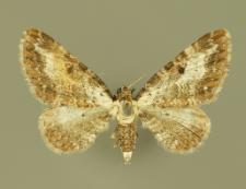 Eupithecia succenturiata (Linnaeus, 1758)