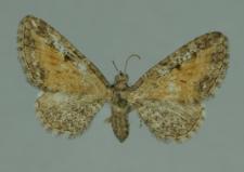 Eupithecia icterata (de Villers, 1789)