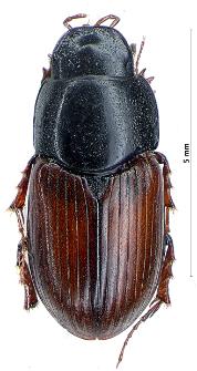 Aphodius satellitius (J.F.W. Herbst, 1789)