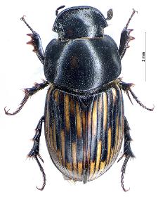 Aphodius luridus (Fabricius, 1775)