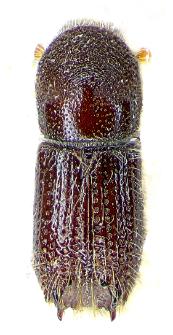 Pityokteines curvidens (E.F. Germar, 1824)