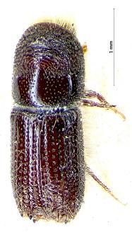 Pityokteines spinidens (E. Reitter, 1895)