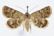 Odice blandula