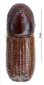 Orthotomicus proximus (W. Eichhoff, 1868)