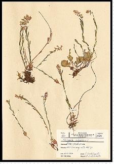 Polygala vulgaris L.