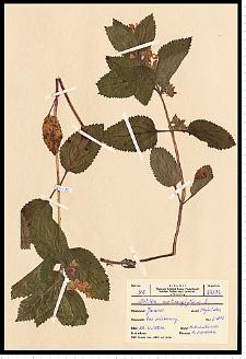 Melittis melissophyllum L.