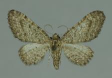 Eupithecia subfuscata (Haworth, 1809)