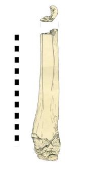 łyżwa, kościana, fragment