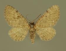 Eupithecia veratraria Herrich-Schäffer, 1848