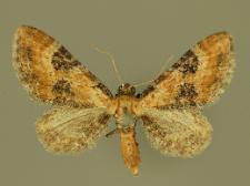 Eupithecia gueneata Millière, 1862