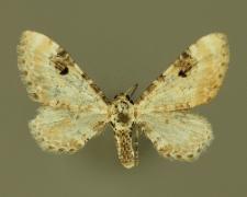Eupithecia centaureata (Denis & Schiffermüller, 1775)