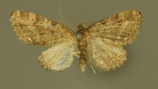 Eupithecia exiguata (Hübner, 1813)
