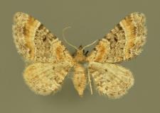 Eupithecia pyreneata Mabille, 1871