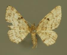 Eupithecia abietaria (Goeze, 1781)