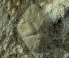 Tanidromitidae