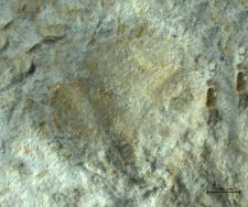 Planoprosopon species