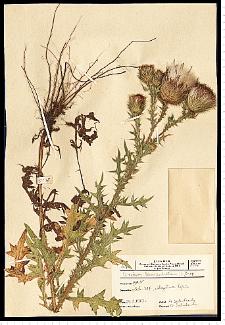 Cirsium vulgare (Savi) Ten.