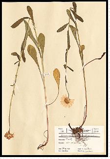 Leucanthemum vulgare Lam. s. s.