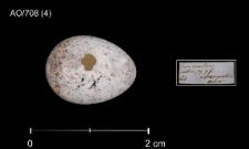 Cyanistes caeruleus