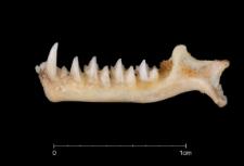 Rhinolophus mehelyi