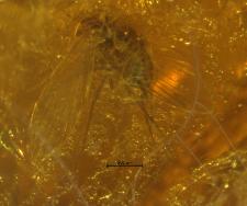 Simuliidae