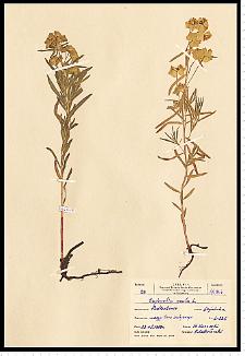 Euphorbia esula L.