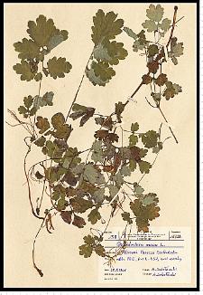 Chelidonium majus L.