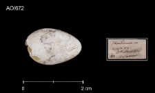 Delichon urbicum