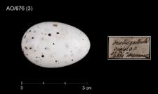 Oriolus oriolus