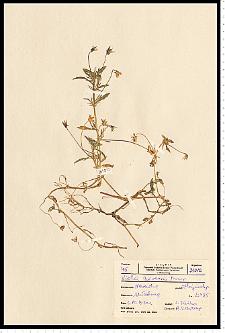 Viola arvensis Murray