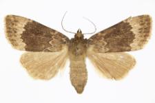 Amphipyra parfula