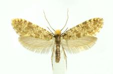 Triaxomera parasitella (Hübner, 1796)