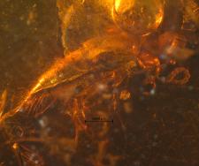 Staphylinidae (Tachyporinae)