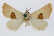 Calymma communimacula