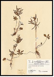 Ranunculus binatus Kit. em. Jasiewicz
