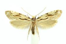 Archinemapogon yildizae Koçak, 1981