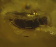 Limnichidae